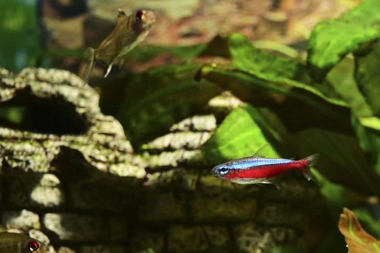 Paracheirodon axelrodi or cardinal fish