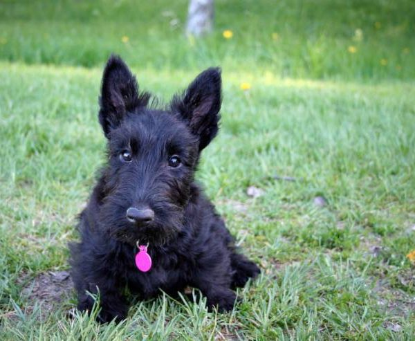 The Scottish Terrier –  Pros and Cons of Having One