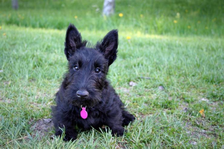 Scottish Terrier: the pros and cons