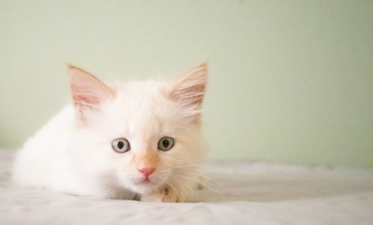 Taking care of a white cat's fur requires some extra attention: here are the useful tips to keep its coat white, shiny and silky.     White-haired cat: useful tips (Photo Unsplash) White-haired cats are very popular, because their candor attracts attention with unique characteristics and peculiarities. However, few know that it is precisely the peculiarities of the white coat that make these cats in need of some specific care and attention , to preserve their beauty.   The white cat , in fact, needs some specific care that serves to prevent the white fur from becoming stained and tending to yellow but also that the kitten can get sick. In addition, white cats often have a genetic mutation called albinism , which prevents them from producing melanin: let's see what are the attention to be paid to the cat if its hair is white as snow.     White cat: specific characteristics and hair care Albino or white-haired cat? (Photo Unsplash) Let's start with a very important difference: not all white cats are albino cats. As mentioned, albinism is the result of a specific genetic mutation that prevents the cat's organism from producing melanin. Therefore, the white fur of an albino cat is also accompanied by light eyes and all the mucous membranes of a very light pink. Simply white cats have white fur, but normally pigmented eyes and mucous membranes.  Even if the albino cat and the white cat are different, their coat still requires some special attention to keep the best. Here are the 3 specific tips for the care of white-haired cats :  1. Watch out for the sun Exposure to the white cat's sunlight could cause skin and cat hair problems . Cats of this color, in fact, have a minimal amount of melanin or even absent (as in the case of an albino cat) and this characteristic makes them more inclined to sunburn and heat stroke.  To prevent the white cat from causing damage due to sun exposure, you should avoid letting it go out in the hottest hours of the day, especially in summer. 