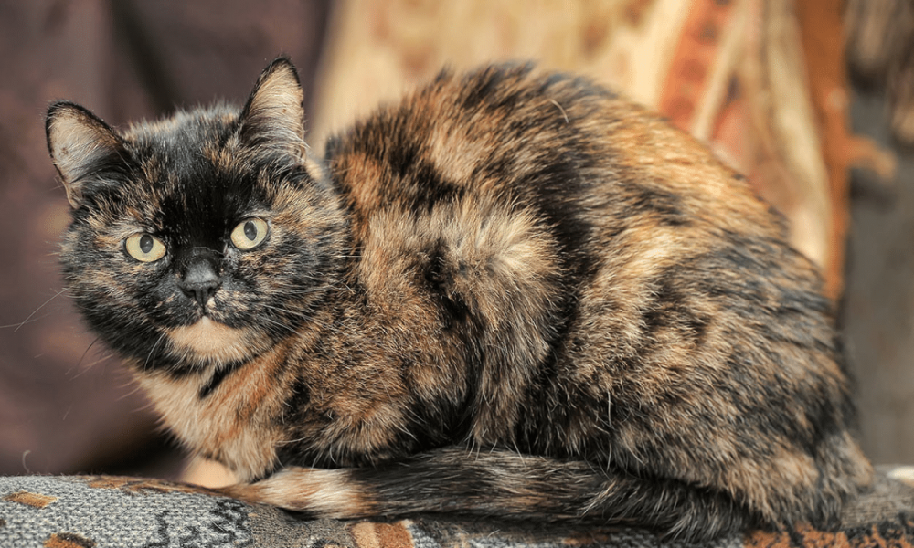 Tortoiseshell cat: 30 Fun facts lifespan   Size Breed