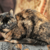 Tortoiseshell cat: 30 Fun facts|lifespan | Size Breed