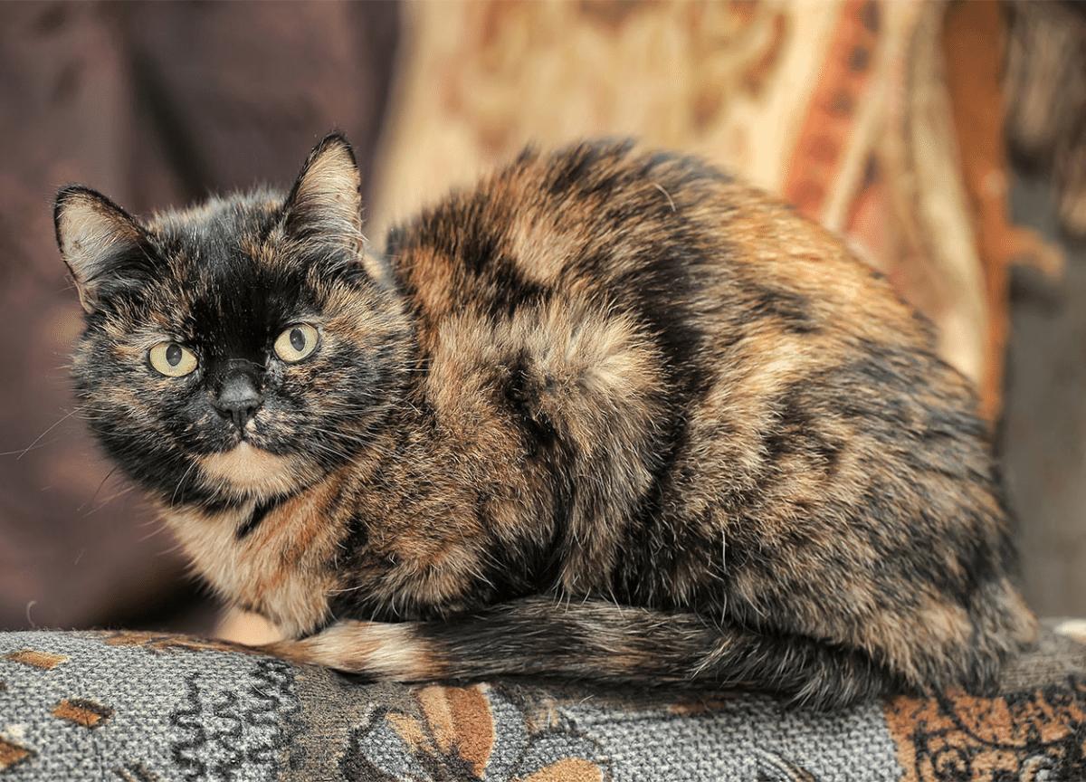 Tortoiseshell cat: 30 Fun facts|lifespan | Size Breed