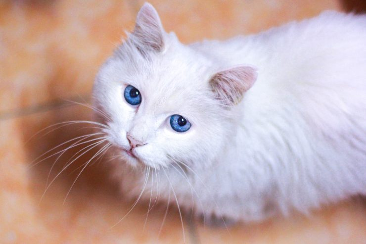 Taking care of a white cat's fur requires some extra attention: here are the useful tips to keep its coat white, shiny and silky.     White-haired cat: useful tips (Photo Unsplash) White-haired cats are very popular, because their candor attracts attention with unique characteristics and peculiarities. However, few know that it is precisely the peculiarities of the white coat that make these cats in need of some specific care and attention , to preserve their beauty.   The white cat , in fact, needs some specific care that serves to prevent the white fur from becoming stained and tending to yellow but also that the kitten can get sick. In addition, white cats often have a genetic mutation called albinism , which prevents them from producing melanin: let's see what are the attention to be paid to the cat if its hair is white as snow.     White cat: specific characteristics and hair care Albino or white-haired cat? (Photo Unsplash) Let's start with a very important difference: not all white cats are albino cats. As mentioned, albinism is the result of a specific genetic mutation that prevents the cat's organism from producing melanin. Therefore, the white fur of an albino cat is also accompanied by light eyes and all the mucous membranes of a very light pink. Simply white cats have white fur, but normally pigmented eyes and mucous membranes.  Even if the albino cat and the white cat are different, their coat still requires some special attention to keep the best. Here are the 3 specific tips for the care of white-haired cats :  1. Watch out for the sun Exposure to the white cat's sunlight could cause skin and cat hair problems . Cats of this color, in fact, have a minimal amount of melanin or even absent (as in the case of an albino cat) and this characteristic makes them more inclined to sunburn and heat stroke.  To prevent the white cat from causing damage due to sun exposure, you should avoid letting it go out in the hottest hours of the day, especially in summer. If it is not possible to completely avoid the exposure of kitty to the sun, it is possible to resort to a specific sunscreen for animals.  2. Vision problems According to numerous scientific studies, the white cat with blue eyes has a tendency to develop vision problems more easily: this is why if you have a white kitten with light eyes it is good that you are able to recognize the symptoms and signs of blindness promptly of the cat.  Attention also to too strong light: especially if the cat is albino and has different colored eyes it can suffer a lot due to photosensitivity and direct light could cause irritation to the eyes.  3. White fur and survival Another problem related to white fur is the disadvantage in terms of survival: first of all, a white-haired kitten who lives on the street has much more difficulty in camouflaging and hiding. In addition, a white cat is generally more prone to some health problems.  This is why if you have adopted a white kitten, it is necessary to take it regularly to the veterinarian for all the necessary periodic checks , so that you can diagnose any pathologies in time to guarantee him better and more effective treatments
