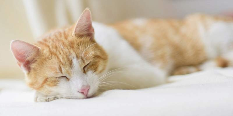 Using pheromones to calm your cat