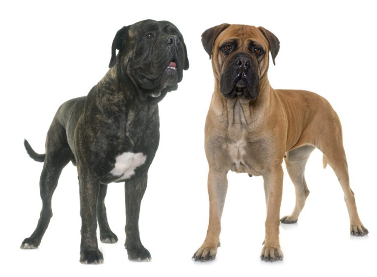 Bullmastiff: Origin   Breeds   Characteristics  Fun Facts   How To Care