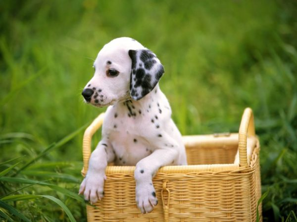 Dalmatian: character, health, breeding and price :   Origin  History