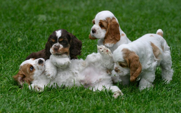English Cocker Spaniel: character, breeding, price, nutrition : Breed  Origin  History  How to Care
