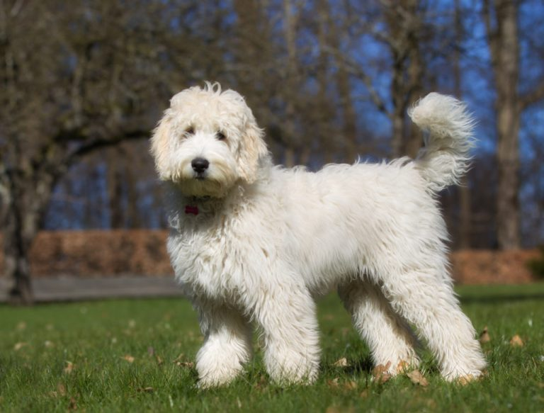 Labradoodle: Origin   Breeds   Fun Facts   How To Care   Health Tips
