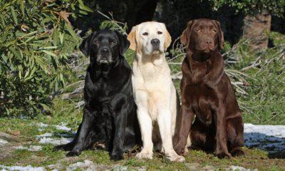 Labrador Retriever farver