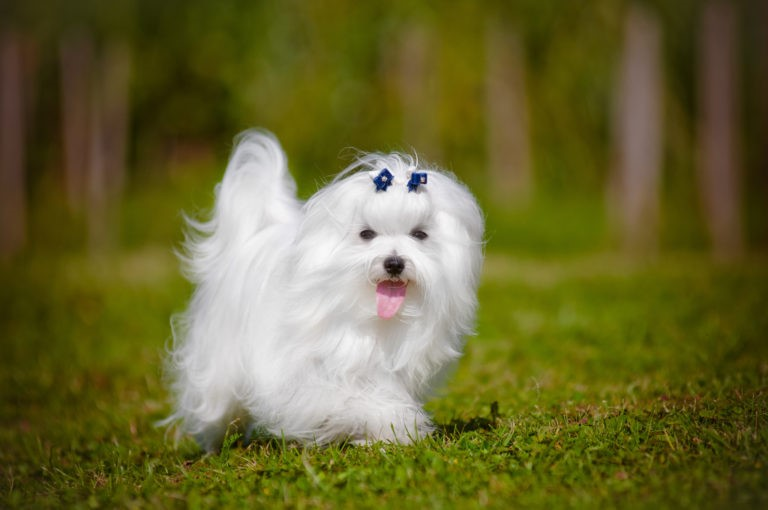 Where to find a Maltese dog breed