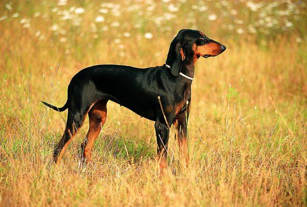 Italian short-haired hound: character, health, breeding and price :   Origin  History