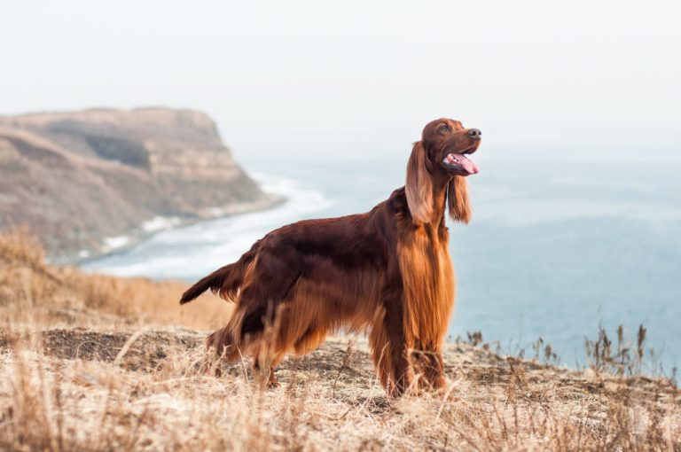 Setter Irlandese Rosso: Origin | Breeds | Characteristics| Fun Facts | How To Care