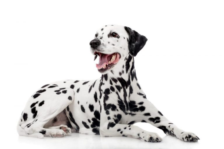 The Dalmatian: Origin   Breeds   Characteristics  Fun Facts   How To Care