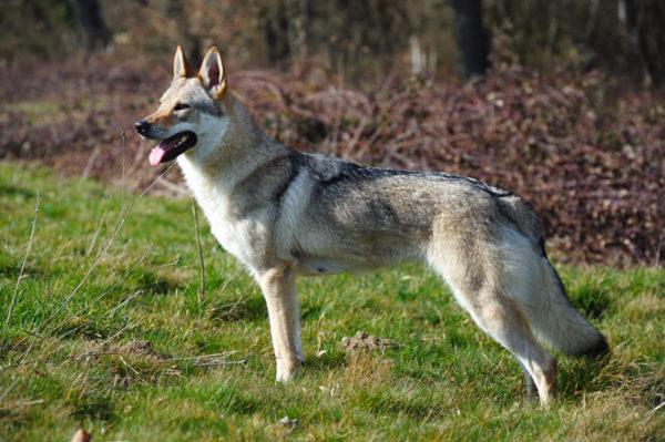 Czechoslovakian wolfdog: character, health, breeding and price :   Origin  History