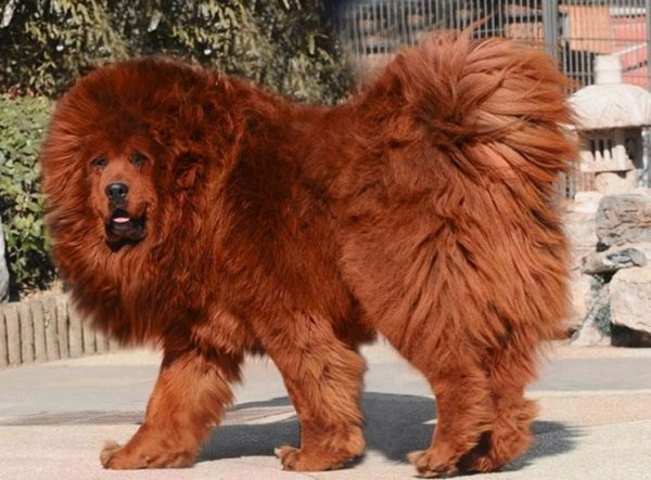 The biggest dogs in the world: here are 20 giant breeds:   Origin  History