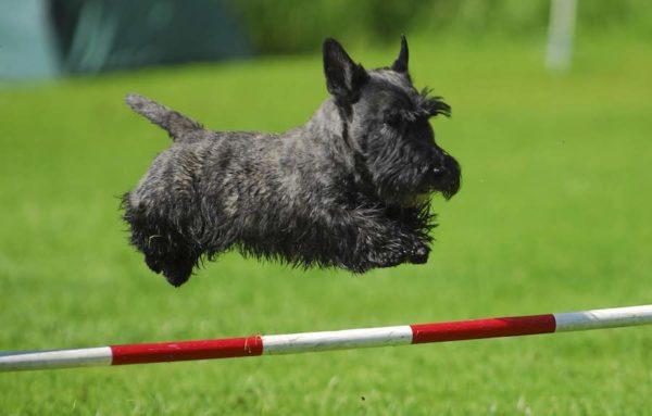 Scottish Terrier: character, health, breeding and price :   Origin  History