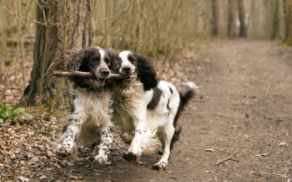 English Springer Spaniel: character and price