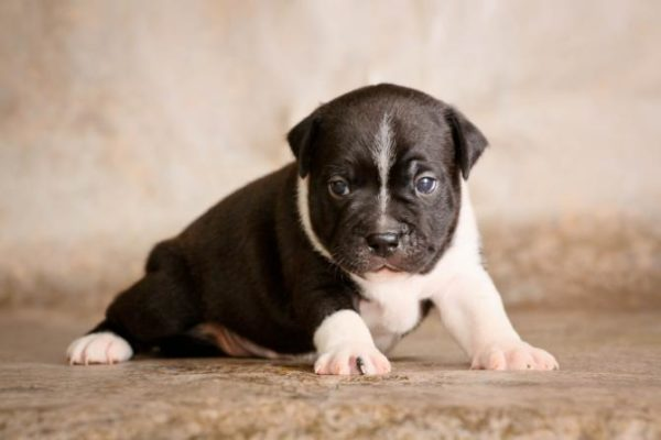 Staffordshire Bull Terrier: character and price